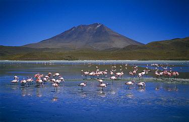 Puna Flamingo (Phoenicopterus jamesi) flock feeding in Laguna Hedionda, Bolivia  -  Tui De Roy