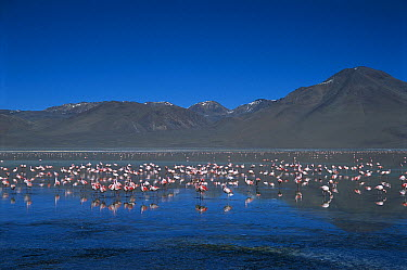 Puna Flamingo (Phoenicopterus jamesi) flock feeding in Laguna Colorada, Bolivia  -  Tui De Roy