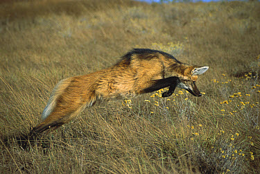 Maned Wolf (Chrysocyon brachyurus) pouncing on rodent hiding in dense grass, Serra de Canastra National Park, Brazil  -  Tui De Roy