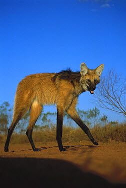 Maned Wolf (Chrysocyon brachyurus) stilt-like legs adapted for roaming long distances in tall grass habitat, Serra de Canastra National Park, Brazil  -  Tui De Roy
