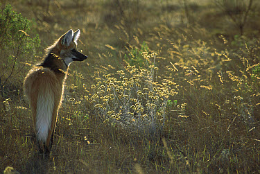 Maned Wolf (Chrysocyon brachyurus) hunting in grasslands in late afternoon during the dry season, Serra de Canastra National Park, Brazil  -  Tui De Roy