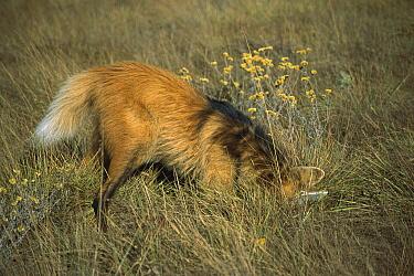 Maned Wolf (Chrysocyon brachyurus) catching rodent hiding in dense grass, Serra de Canastra National Park, Brazil  -  Tui De Roy