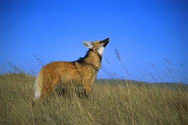 Maned Wolf (Chrysocyon brachyurus) using acute sense of smell to locate rodents in grassland, Serra de Canastra National Park, Brazil  -  Tui De Roy