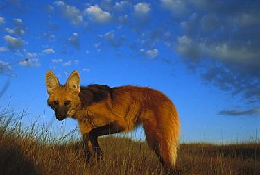 Maned Wolf (Chrysocyon brachyurus) setting out to hunt at dusk, mainly a nocturnal animal, Serra de Canastra National Park, Brazil  -  Tui De Roy