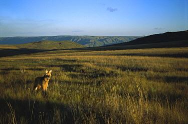 Maned Wolf (Chrysocyon brachyurus) patrolling huge territory in open Cerrado grassland habitat, Serra de Canastra National Park, Brazil  -  Tui De Roy