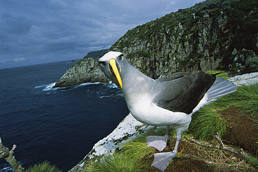 Buller's Albatross (Thalassarche bulleri) endemic to New Zealand's southern islands, investigating potential nest site on cliff along Olearia forest edge, Mollymawk Bay, Snares Islands, New Zealand  -  Tui De Roy