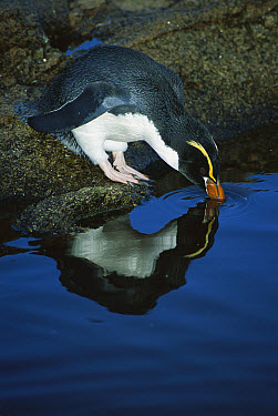 Snares Crested Penguin (Eudyptes robustus) drinking from rain pool, Station Point, Snares Islands, New Zealand  -  Tui De Roy