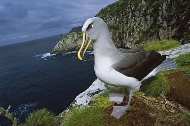 Buller's Albatross (Thalassarche bulleri) investigating potential nest site along Olearia forest edge, Mollymawk Bay, Snares Islands, New Zealand  -  Tui De Roy