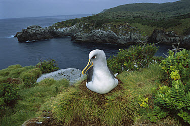 Buller's Albatross (Thalassarche bulleri) endemic to New Zealand's South Island, nesting among endemic coastal plants, Kokomuka (Hebe elliptica) and (Poa astonii), North Punui Bay, Snares Islands, New...  -  Tui De Roy
