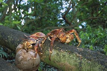 Coconut Crab (Birgus latro) pair eating coconut on forest floor, world's largest terrestrial invertebrate, Palmyra Atoll, US National Wildlife Refuge, US Line Islands  -  Tui De Roy