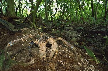 Coconut Crab (Birgus latro) digging burrow on forest floor, Palmyra Atoll, world's largest terrestrial invertebrate, US National Wildlife Refuge, US Line Islands  -  Tui De Roy