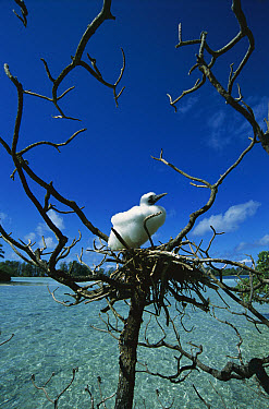 Red-footed Booby (Sula sula) chick on nest in tree overlooking lagoon, Whippoorwill Island, US Line Islands, Palmyra Atoll, tropical Pacific  -  Tui De Roy