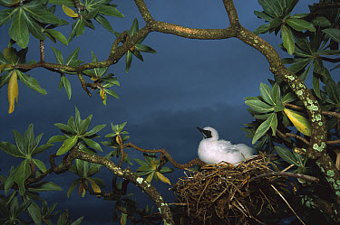 Red-footed Booby (Sula sula) sitting on nest in tree, Cooper Islands, US Line Islands, Palmyra Atoll, tropical Pacific  -  Tui De Roy