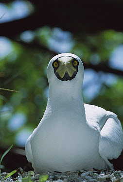 Masked Booby (Sula dactylatra) incubating egg on ground nest, Paradise Peninsula, Palmyra Atoll, US Line Islands, tropical Pacific  -  Tui De Roy