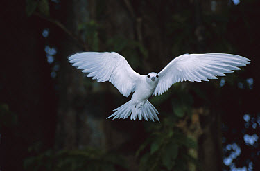 White Tern (Gygis alba) hovering in Grand Devil's-claws (Pisonia grandis) forest where it is nesting, Palmyra Atoll, US Line Islands, Oceania  -  Tui De Roy