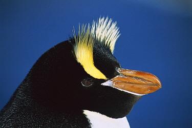 Erect-crested Penguin (Eudyptes sciateri) close-up portrait, restricted to Proclamation Island, Bounty Islands, New Zealand  -  Tui De Roy