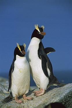 Erect-crested Penguin (Eudyptes sciateri) pair, Antipodes Island, New Zealand  -  Tui De Roy
