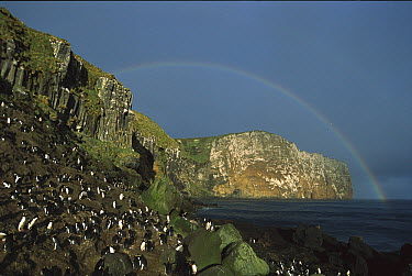 Penguin rookery with rainbow over head at Anchorage Bay on coast of Antipodes Island, New Zealand  -  Tui De Roy