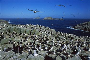 Salvin's Albatross (Thalassarche salvini) crowded nesting colony, Depot Island, New Zealand  -  Tui De Roy