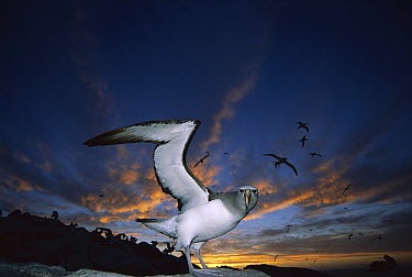Salvin's Albatross (Thalassarche salvini) returning to crowded nesting colony at sunset, Proclamation Island, Bounty Islands, New Zealand  -  Tui De Roy