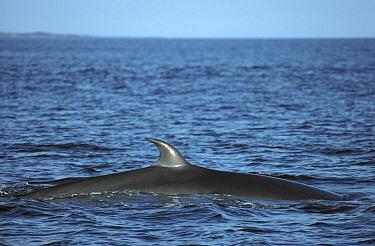 Bryde's Whale (Balaenoptera edeni) in Cromwell Current, upwelling feeding area, Banks Bay, Isabella Island, Galapagos Islands, Ecuador  -  Tui De Roy