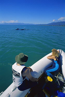 Long-finned Pilot Whale (Globicephala melas) Department of Conservation rescue team escorting pod into deeper water after stranding, Golden Bay, South Island, New Zealand  -  Tui De Roy