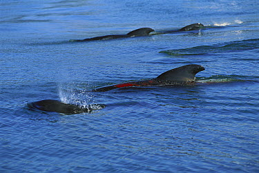 Long-finned Pilot Whale (Globicephala melas) pod swimming closely together in coastal waters, showing burn from stranding, Golden Bay, South Island, New Zealand  -  Tui De Roy