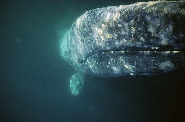 Gray Whale (Eschrichtius robustus) curious adult rolling over underwater to investigate underside of whale watching boat, Magdalena Bay, Baja California, Mexico  -  Tui De Roy