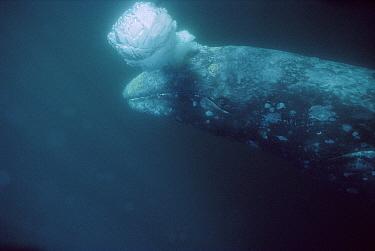 Gray Whale (Eschrichtius robustus) adult underwater blowing bubbles, Magdalena Bay, Baja California, Mexico  -  Tui De Roy