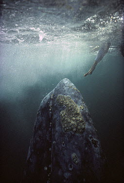 Gray Whale (Eschrichtius robustus) curious adult underwater with tourist reaching out to touch it, Magdalena Bay, Baja California, Mexico  -  Tui De Roy