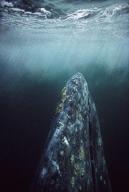 Gray Whale (Eschrichtius robustus) adult underwater in breeding lagoon, Magdalena Bay, Baja California, Mexico  -  Tui De Roy