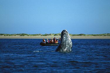 Gray Whale (Eschrichtius robustus) spy-hopping near whale watchers, winter breeding lagoon, Magdalena Bay, Baja California, Mexico  -  Tui De Roy