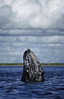 Gray Whale (Eschrichtius robustus) spy-hopping under cloudy skies, winter breeding lagoon, Magdalena Bay, Baja California, Mexico  -  Tui De Roy