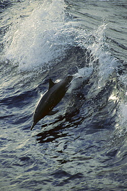 Spinner Dolphin (Stenella longirostris) jumping, between Panama and Cocos Island, tropical Eastern Pacific Ocean  -  Tui De Roy