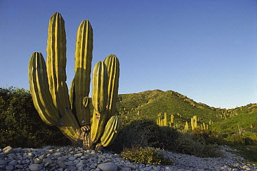 Cardon (Pachycereus pringlei) cactus, Santa Catalina Island, Sea of Cortez, Baja California, Mexico  -  Tui De Roy