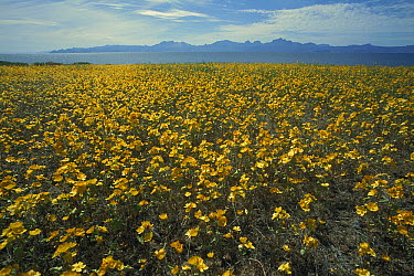 Desert Mallow (Sphaeraicea ambigua) field in full bloom after winter rains, Baja California, Mexico  -  Tui De Roy