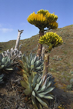 Coastal Agave (Agave shawii) in bloom, San Benito Island, Baja California, Mexico  -  Tui De Roy