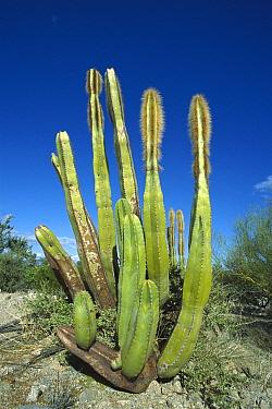 Old Man Cactus (Lophocereus schottii) in Sonoran desert landscape, Baja California, Mexico  -  Tui De Roy
