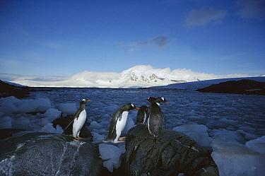 Gentoo Penguin (Pygoscelis papua) commuting to colony, Port Lockroy, Weincke Island, Antarctic Peninsula, Antarctica  -  Tui De Roy