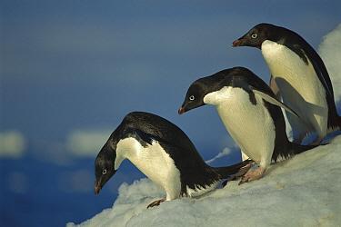 Adelie Penguin (Pygoscelis adeliae) commuting to sea over ice apron, Cape Hallet, Ross Sea, Antarctica  -  Tui De Roy