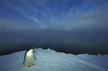 Adelie Penguin (Pygoscelis adeliae) portrait on ice apron, Cape Hallet, Ross Sea, Antarctica  -  Tui De Roy