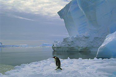 Emperor Penguin (Aptenodytes forsteri) walking across ice, Ekstrom Ice Shelf, Weddell Sea, Antarctica  -  Tui De Roy