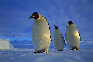 Emperor Penguin (Aptenodytes forsteri) trio on sea ice in midnight twilight, Ekstrom Ice Shelf, Weddell Sea, Antarctica  -  Tui De Roy