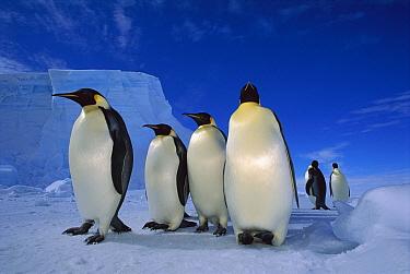 Emperor Penguin (Aptenodytes forsteri) group near Ekstrom Ice Shelf, Weddell Sea, Antarctica  -  Tui De Roy