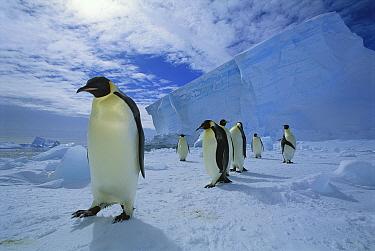 Emperor Penguin (Aptenodytes forsteri) commuting across sea ice to nesting colony, Ekstrom Ice Shelf, Weddell Sea, Antarctica  -  Tui De Roy