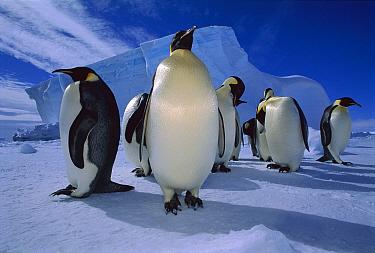 Emperor Penguin (Aptenodytes forsteri) group, Ekstrom Ice Shelf, Weddell Sea, Antarctica  -  Tui De Roy