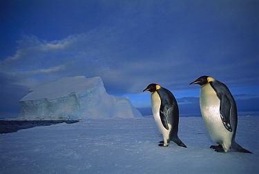 Emperor Penguin (Aptenodytes forsteri) pair on sea ice in midnight twilight, Ekstrom Ice Shelf, Weddell Sea, Antarctica  -  Tui De Roy