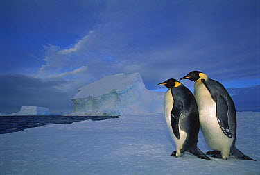 Emperor Penguin (Aptenodytes forsteri) pair sea ice in midnight twilight, Ekstrom Ice Shelf, Weddell Sea, Antarctica  -  Tui De Roy