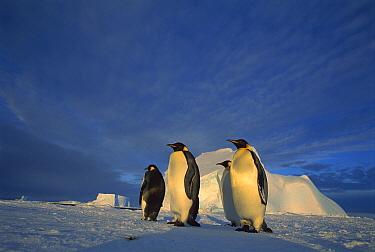 Emperor Penguin (Aptenodytes forsteri) group of four on sea ice under midnight sun, Ekstrom Ice Shelf, Weddell Sea, Antarctica  -  Tui De Roy