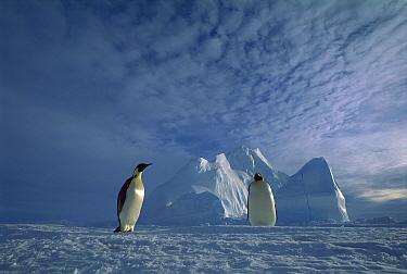 Emperor Penguin (Aptenodytes forsteri) pair, Ekstrom Ice Shelf, Weddell Sea, Antarctica  -  Tui De Roy
